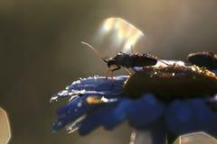 在春黄菊花的昆虫在露水的 免版税库存图片