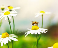 在春黄菊花的蜂蜜蜂 免版税库存图片