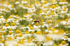 在春黄菊花草甸的蜂 库存图片