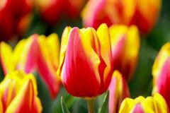 在昭和Kinen KoenShowa纪念公园,立川市,东京,日本的1月Seignette郁金香在春天 库存图片