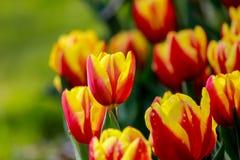 在昭和Kinen KoenShowa纪念公园,立川市,东京,日本的1月Seignette郁金香在春天 免版税库存照片