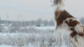 在显示守纪的冻结的领域的博德牧羊犬 影视素材