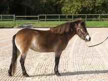 在显示环形的Exmoor小马 免版税库存照片