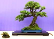 在显示的一棵不拘形式的挺直中国榆木盆景在贝尔法斯特北爱尔兰 免版税图库摄影