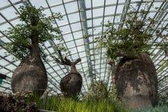在显示的三棵boab树在滨海湾公园的壮观的心房显示在新加坡 免版税库存照片