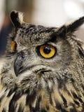 在显示的猫头鹰 免版税库存图片