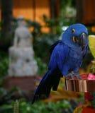 在显示的蓝色鹦鹉在夏威夷旅馆里 免版税库存图片