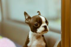 在显示的逗人喜爱的小狗在一家宠物商店在涩谷,东京,日本 免版税图库摄影