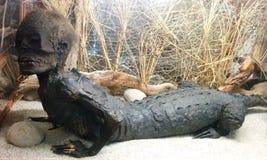 在显示的鳄鱼人异常的动物标本剥制术 库存图片