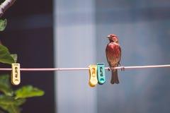 在晒衣绳的红色鸟 库存图片
