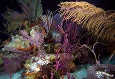 在晚上下潜,缓慢地Cayo期间的珊瑚礁,古巴 免版税图库摄影