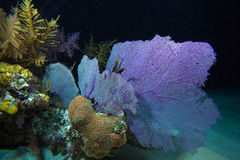 在晚上下潜,缓慢地Cayo期间的珊瑚礁,古巴 免版税库存照片