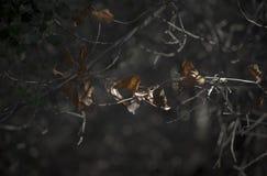 在晚上光的橡木叶子 库存图片