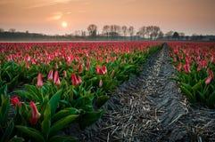 在晚上光的郁金香领域 免版税图库摄影