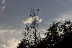 在晚上天空的一棵半死的树 库存图片