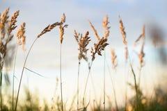 在晚上天空被弄脏的背景前面的麦子 免版税库存图片