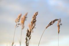 在晚上天空被弄脏的背景前面的麦子 库存照片