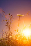 在晚上太阳下的秀丽野花 库存照片