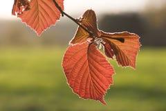 在晚上太阳的叶子 免版税图库摄影