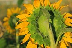 在晚上太阳的向日葵领域 免版税库存照片