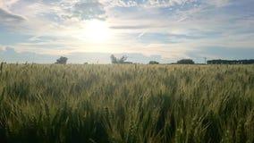在晚上太阳的宽领域与庄稼 库存图片