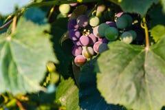 在晚上太阳的成熟的康科德紫葡萄 库存照片