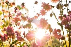 在晚上太阳的Aquilegia 免版税库存图片