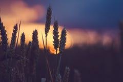 在晚上日落光的麦子剪影 被点燃的自然光 美丽的太阳飘动bokeh 图库摄影