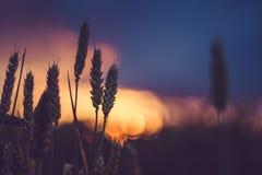在晚上日落光的麦子耳朵 被点燃的自然光 美丽的太阳飘动bokeh 免版税库存照片