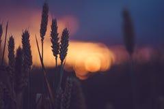 在晚上日落光的麦子耳朵 被点燃的自然光 美丽的太阳飘动bokeh 库存照片