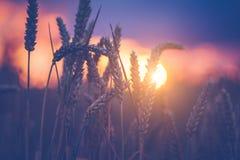 在晚上日落光的麦子耳朵 被点燃的自然光 美丽的太阳飘动bokeh 免版税图库摄影
