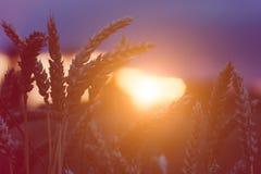 在晚上日落光的麦子蒸汽飘动与心脏形式 被点燃的自然光 美丽的太阳飘动bokeh 免版税库存图片