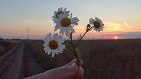 在晚上日落的戴西花 免版税图库摄影