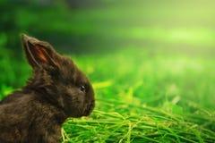 在晚上阳光的一点黑兔宝宝 免版税库存照片