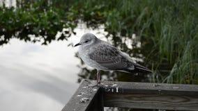 在晚夏特写镜头录影的美丽的白色海鸥用镇静池塘水 股票录像