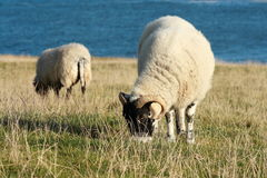 在晚秋天吃草绵羊 库存照片