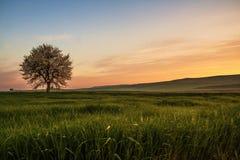 在普利亚和巴斯利卡塔之间 多小山春天:与偏僻的树的日出在绽放 意大利 免版税库存图片