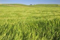 在普利亚和巴斯利卡塔之间:与绿色玉米田的多小山风景 意大利 免版税库存图片