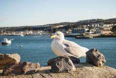 在普利茅斯Myflower步的海鸥 免版税库存照片