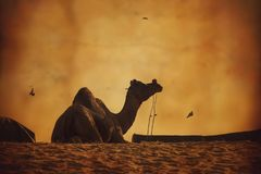 在普斯赫卡尔沙漠沙丘的印地安骆驼剪影日落的 库存图片