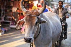 在普斯赫卡尔,拉贾斯坦,印度街道的圣牛  免版税图库摄影