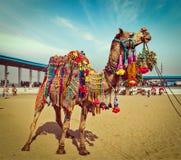 在普斯赫卡尔Mela,拉贾斯坦,印度的骆驼 免版税库存图片