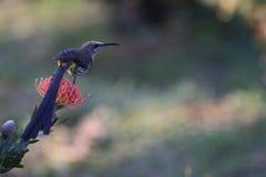 在普罗梯亚木的太阳鸟 免版税库存照片