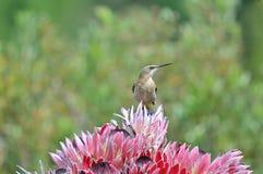 在普罗梯亚木花的海角sugarbird 免版税库存图片