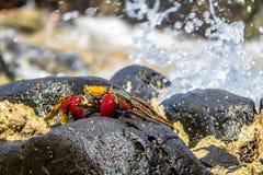 在普腊亚的五颜六色的红色螃蟹做Sancho海滩-费尔南多・迪诺罗尼亚群岛, Pernambuco,巴西 免版税库存图片