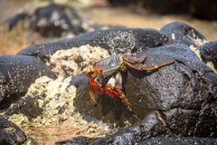 在普腊亚的五颜六色的红色螃蟹做Sancho海滩-费尔南多・迪诺罗尼亚群岛, Pernambuco,巴西 免版税图库摄影