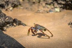在普腊亚的五颜六色的红色螃蟹做Sancho海滩-费尔南多・迪诺罗尼亚群岛, Pernambuco,巴西 库存图片
