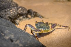 在普腊亚的五颜六色的红色螃蟹做Sancho海滩-费尔南多・迪诺罗尼亚群岛, Pernambuco,巴西 免版税库存照片