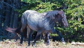 在普莱尔山野马范围的被风吹野马蓝色软羊皮的带公马在蒙大拿 库存图片
