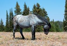 在普莱尔山野马范围的野马蓝色软羊皮的带公马在蒙大拿 免版税库存照片